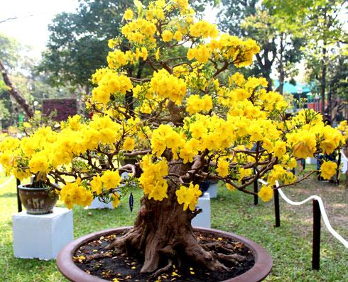 Bón phân giai đoạn mai vàng trổ bông hoa - sopphumy.com.vn